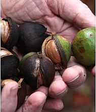 Olej z Kukui orechov - SkinDivision 100% Pure Kukui Nut Oil — Obrázky N5